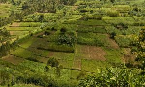 Rwanda's rolling countryside is heavily cultivated.