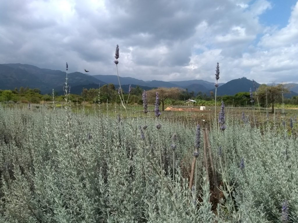 Lavender being grown in the Southern Highlands